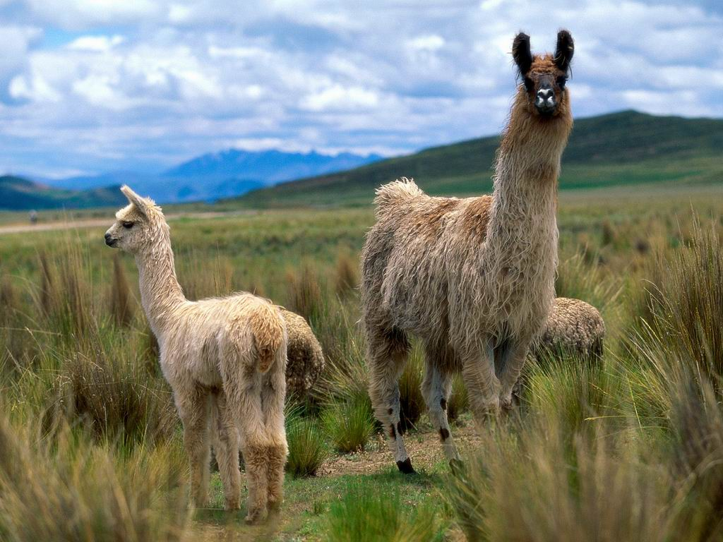 Llamas in Andes mountain