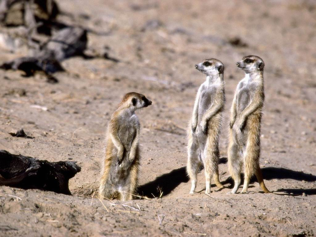 Meerkats in South Africa