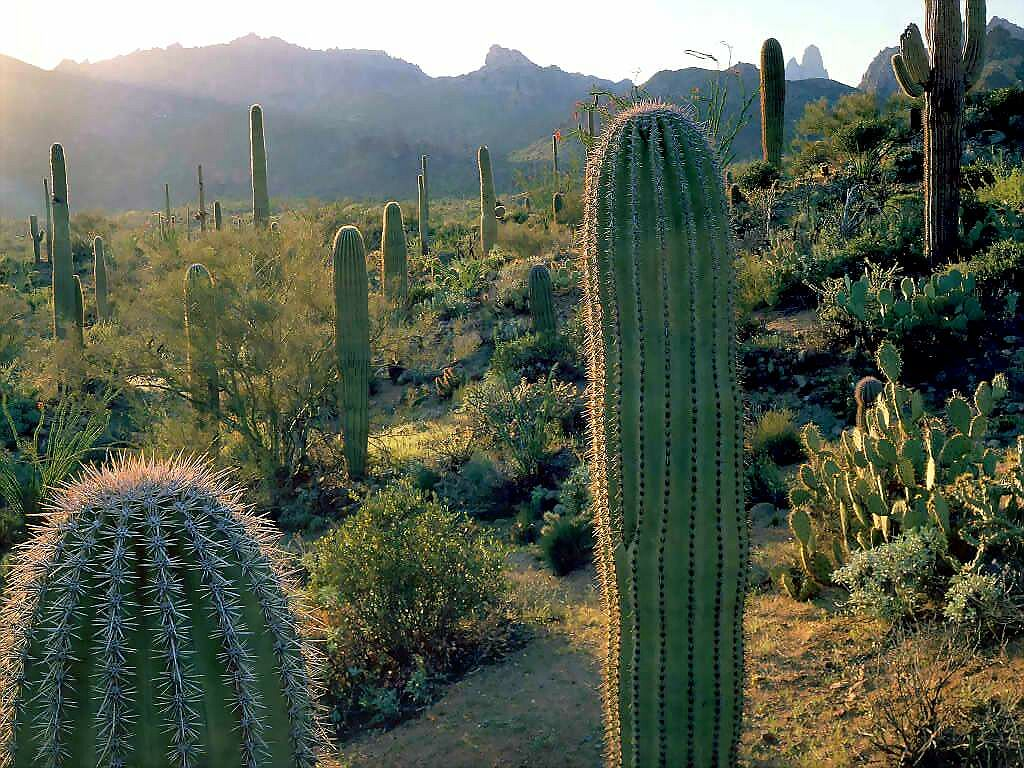 arizona cactus wallpaper, photo, pictures