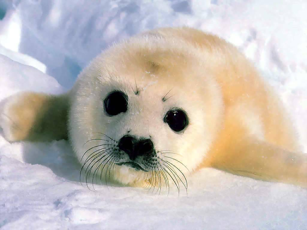 [Image: magnificent_moments_csg011_harp_seal_in_..._world.jpg]