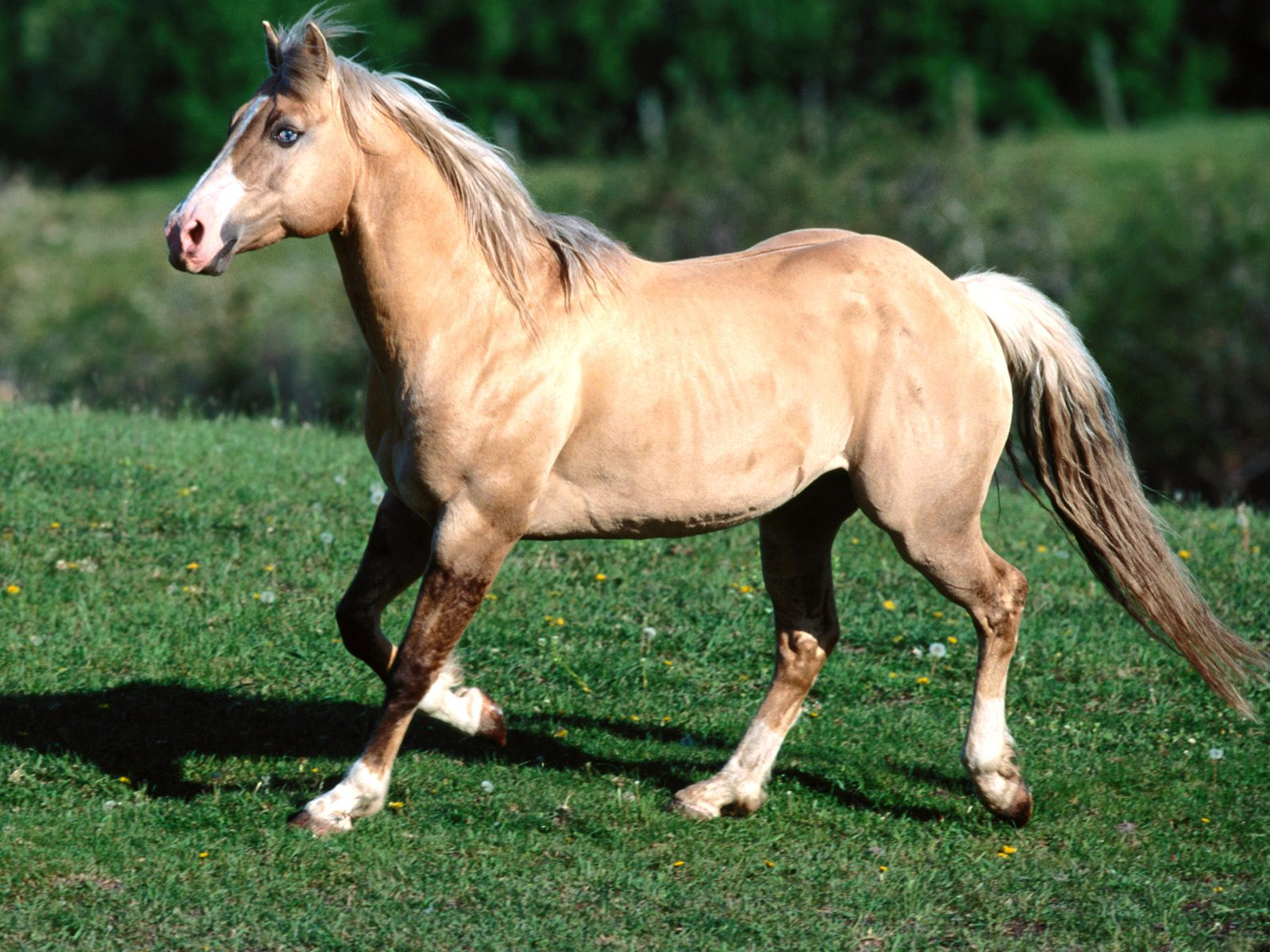 Paint Quarter Horses For Sale in Texas Paint Horses For Sale Texas